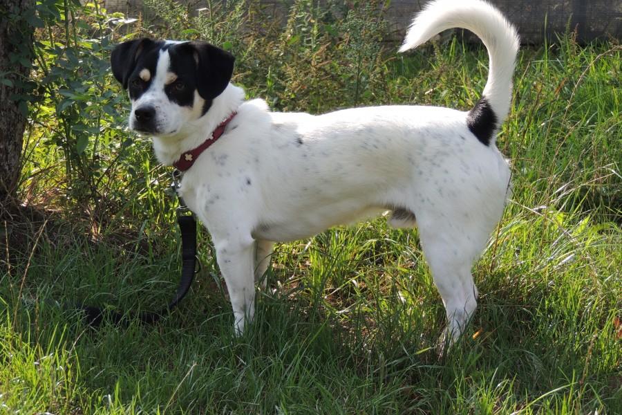 Jack-Russel-Terrier-Mix Flecki